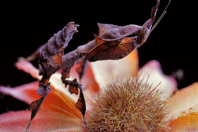 tipos de mantis