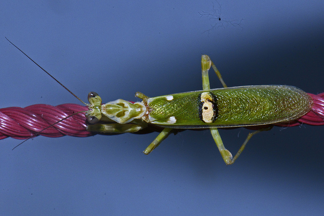 Los 20 tipos de mantis religiosa más curiosos