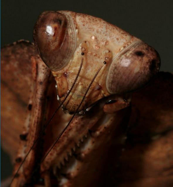 Detalle de la cabeza de una mantis hoja muerta hembra en la que pueden apreciarse los tres ocelos u ojos extra que posee entre las antenas.