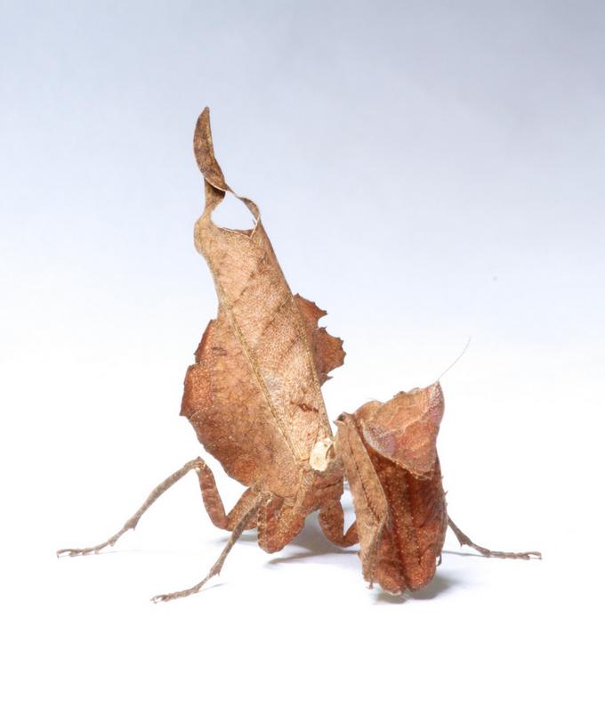 Deroplatys trigonodera Flickr: Brian Gratwicke
