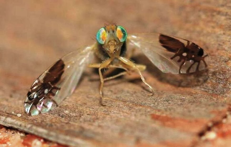 Goniurellia tridens una mosca que tiene dibujadas dos hormigas en sus alas
