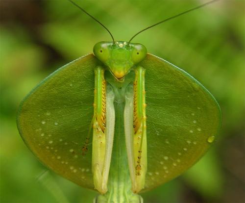 Hooded-praying-mantis-image