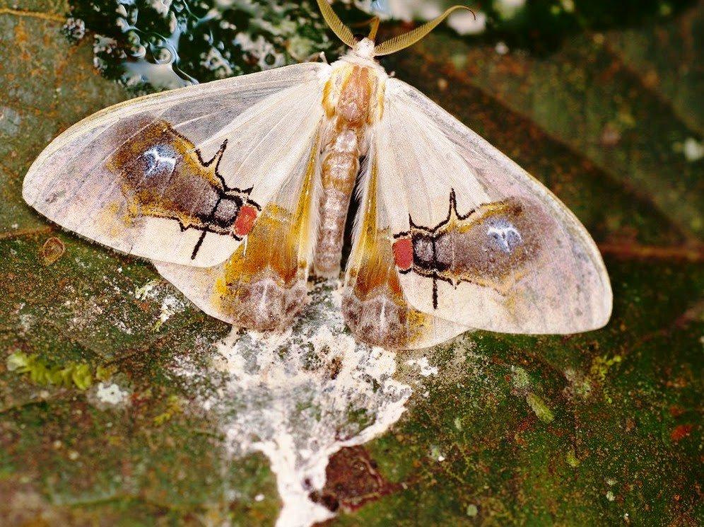 Macrocilix maia polilla con una escena en su cuerpo 4