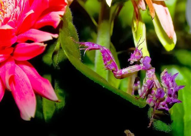 Pseudocreobotra wahlbergii Mantis rosa