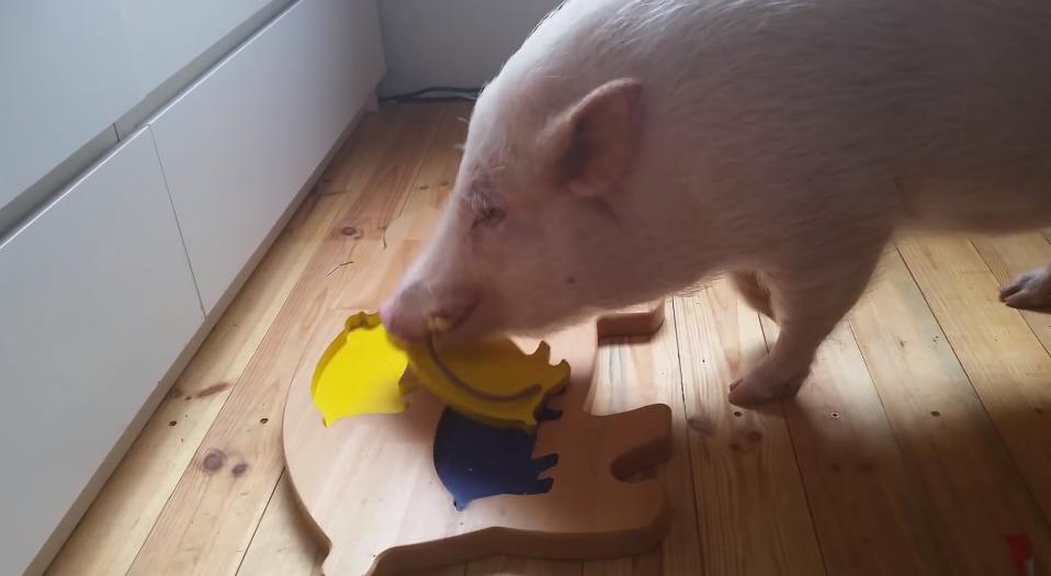cerdo-inteligente