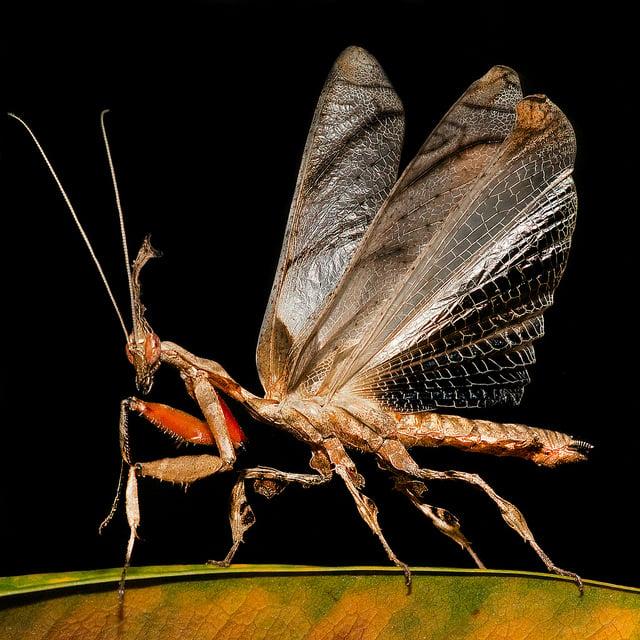 mantis fantasma 1