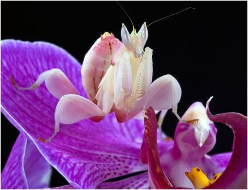 mantis orquidea 1