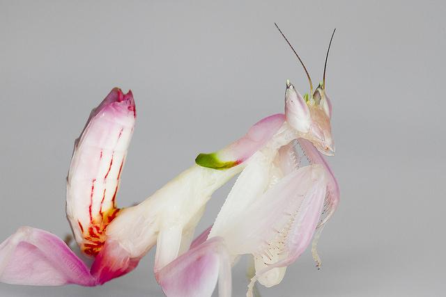 mantis orquidea 2
