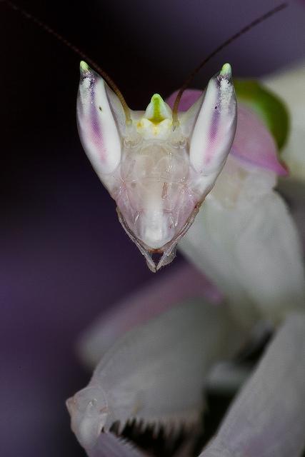 mantis orquidea 3
