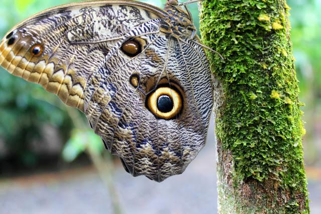 mariposas buho caligo 6