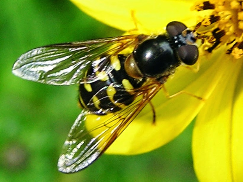 syrphidae moscas que imitan a abejas y avispas 4