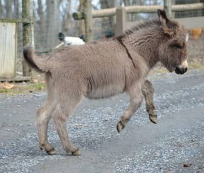 burros mini 10