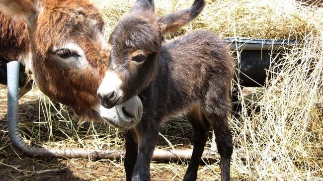 burros mini 13