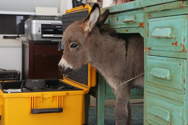 burros mini 3