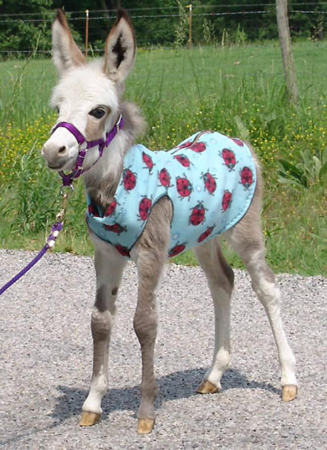 burros mini 5