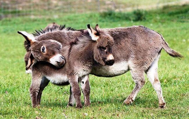 burros mini 6