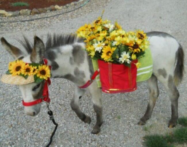 burros mini 8