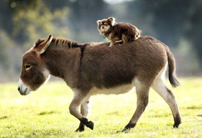 burros mini 9