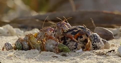 https://lavozdelmuro.net/cangrejos-ermitanos-hacen-una-fila-ordenada-para-intercambiar-su-concha/