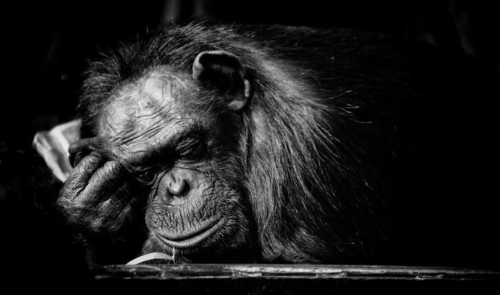 chimpances-maltrato