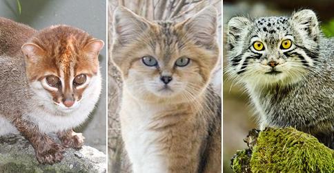 felinos-extincion