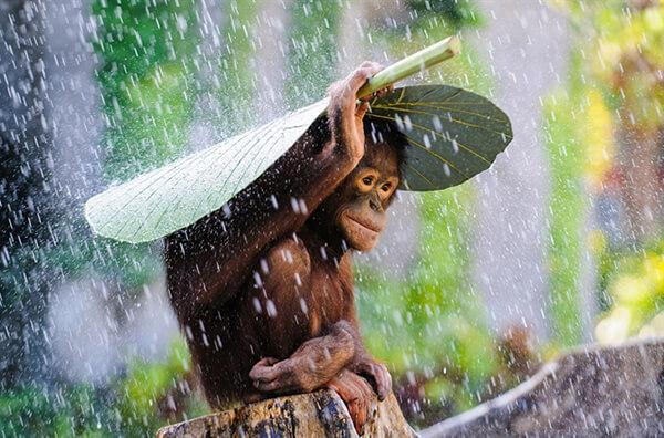 Orangutan in The Rain / Orang Utan di Tengah Hujan