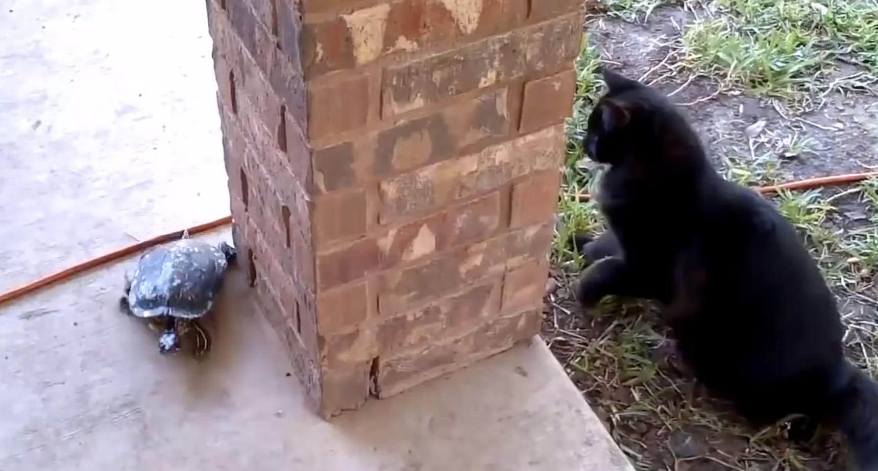 gato-tortuga-pilla-pilla