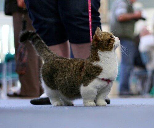 gatos patas cortas 1