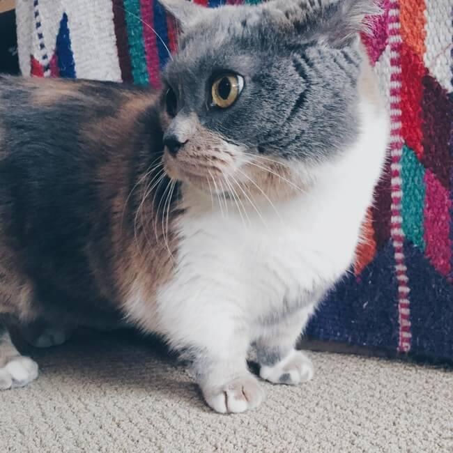 gatos patas cortas 23