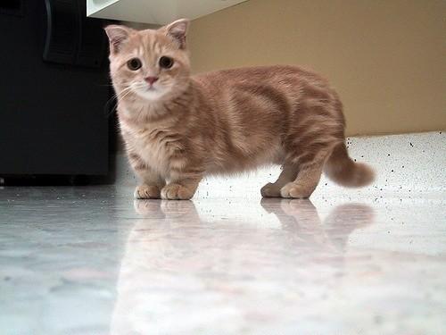 gatos patas cortas 24