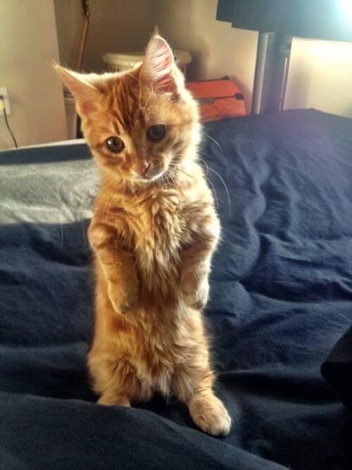 gatos patas cortas 25
