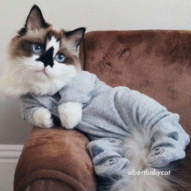 gatos patas cortas 26