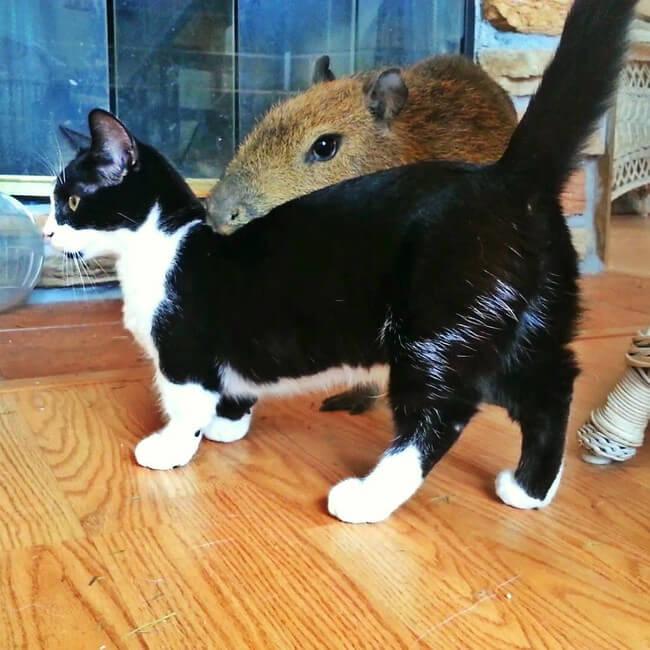 gatos patas cortas 3