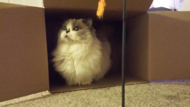 gatos patas cortas 6