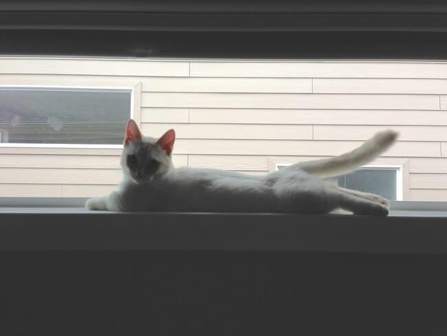 gatos patas cortas 7