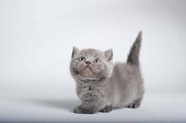 gatos patas cortas 8