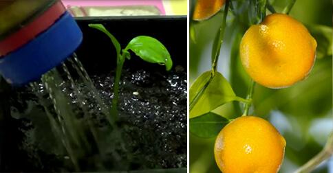 germinar-limonero