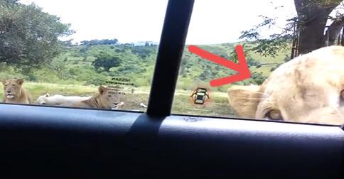 http://lavozdelmuro.net/iban-por-una-ruta-de-safari-cuando-un-leon-abrio-la-puerta-de-su-coche-sin-esfuerzo/