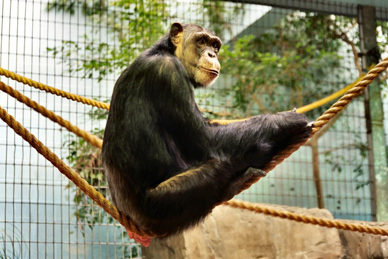 maltrato chimpance 1