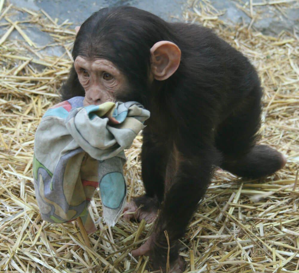 maltrato chimpance 2