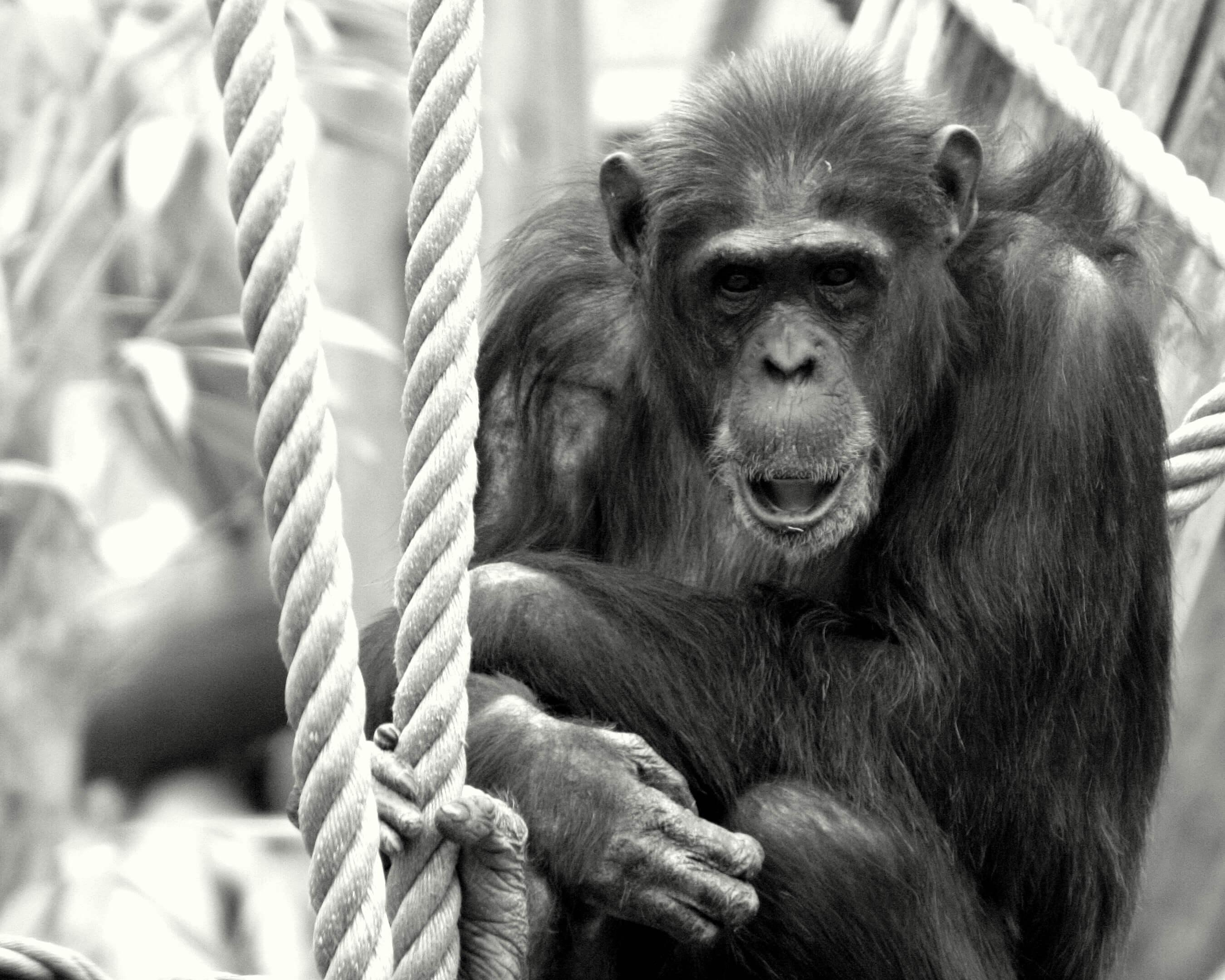 maltrato chimpance 4