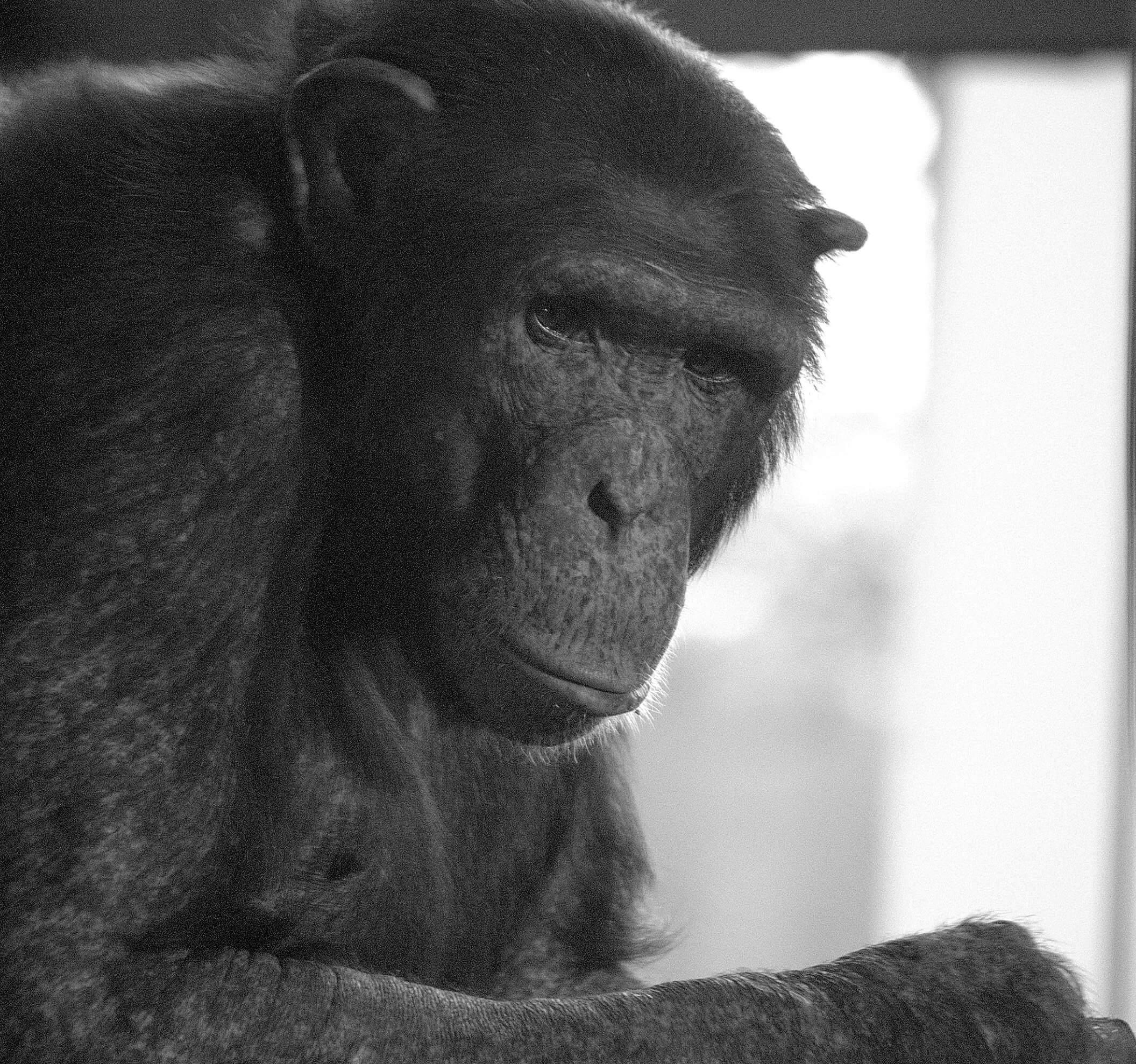 maltrato chimpance 5