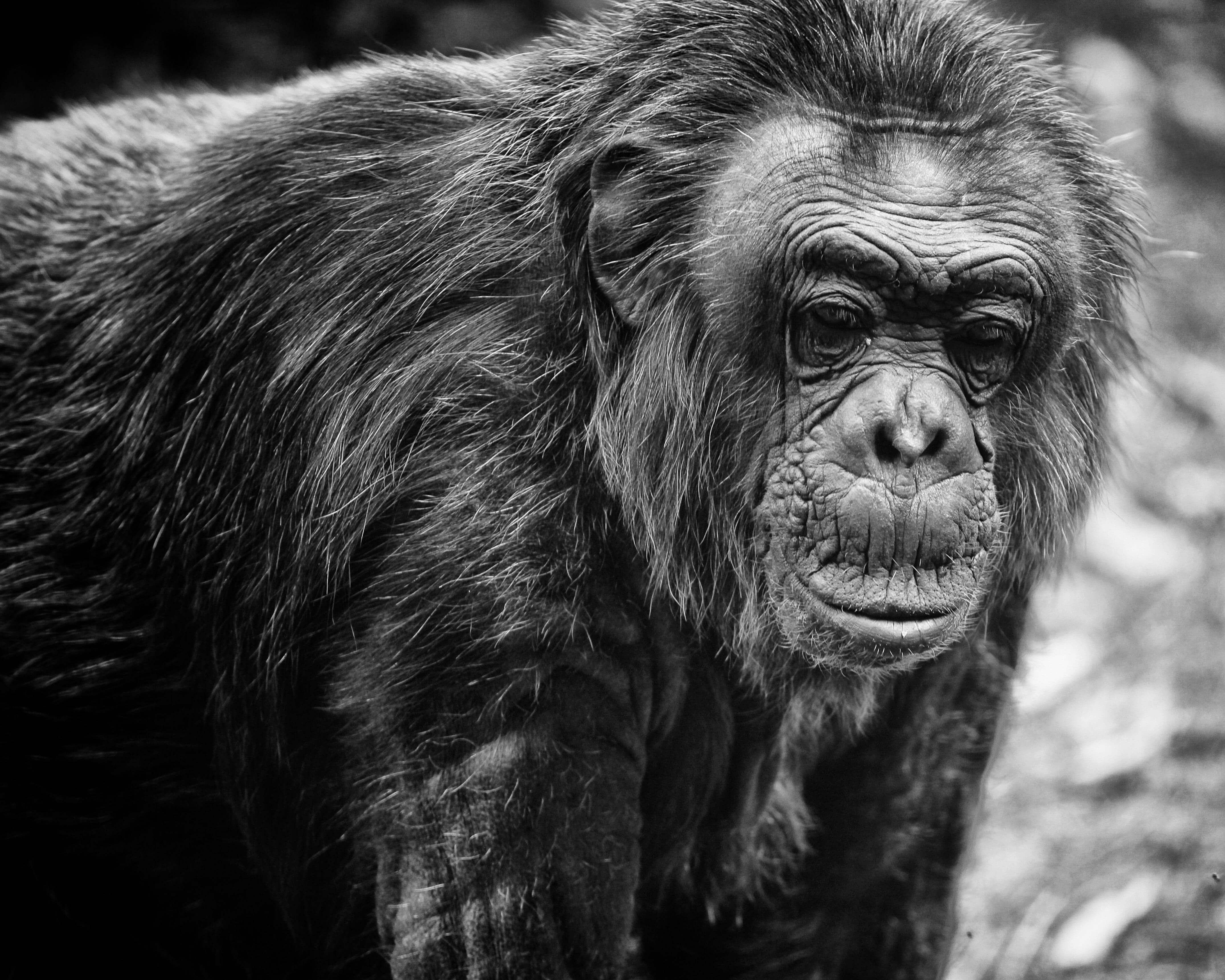 maltrato chimpance 6