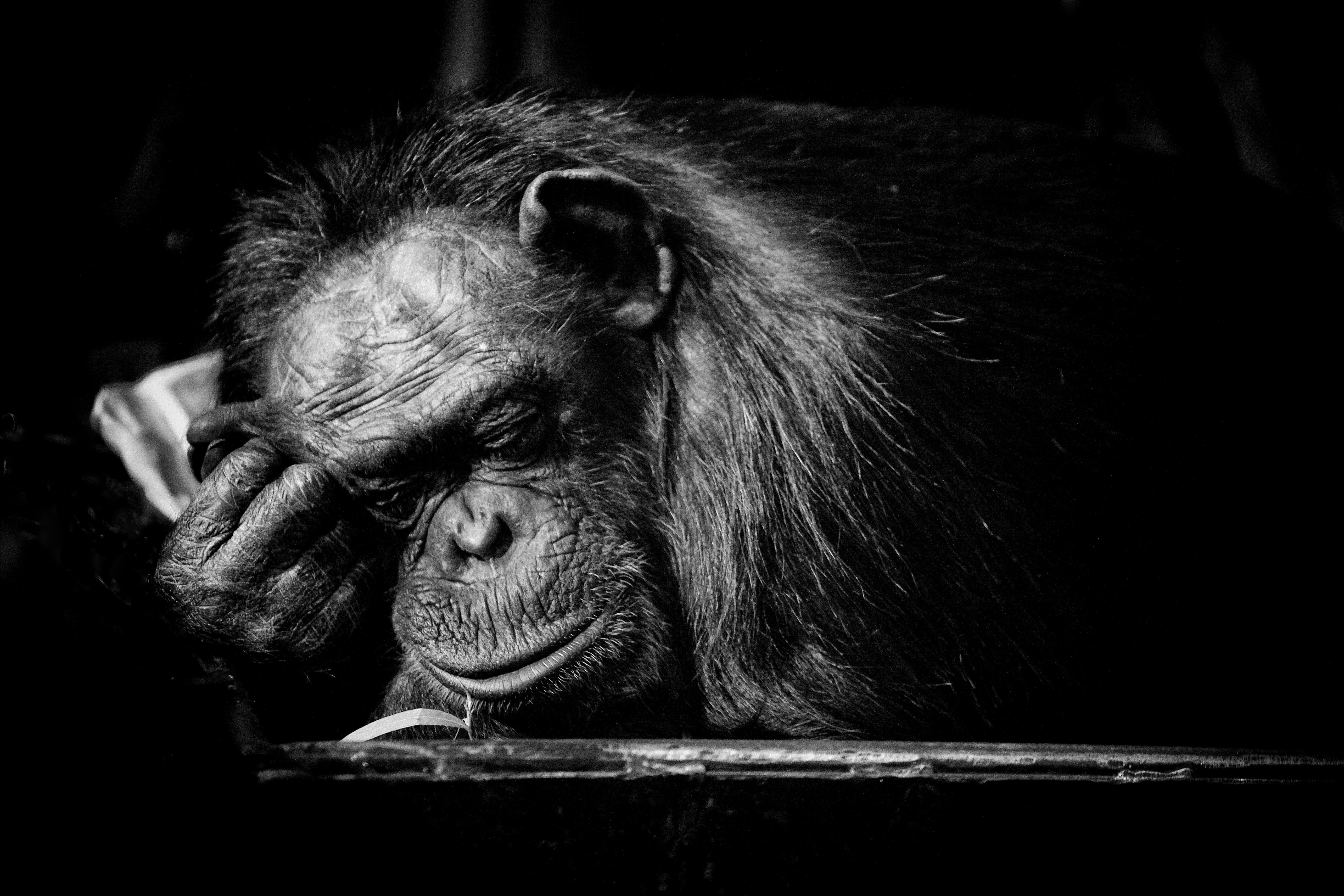 maltrato chimpance 7