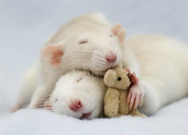 mascotas ratas 10