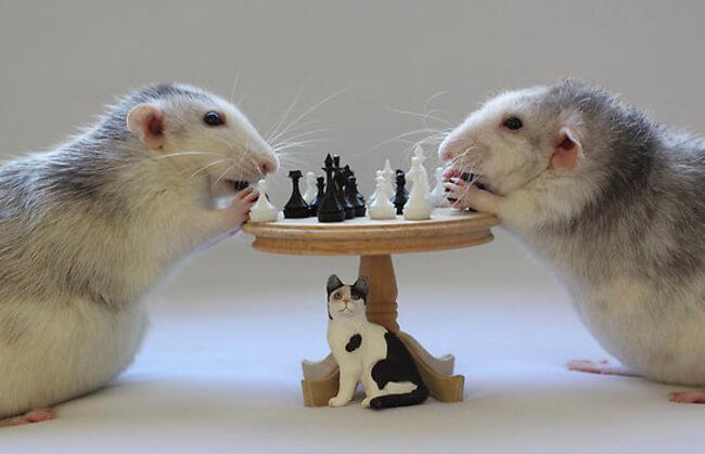 mascotas ratas 3