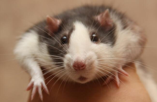 mascotas ratas 5