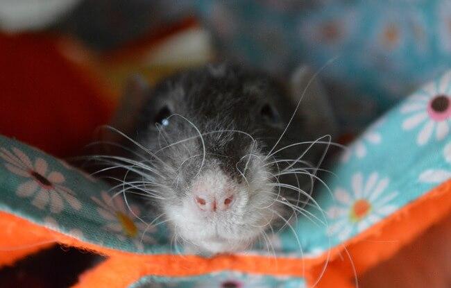 mascotas ratas 6