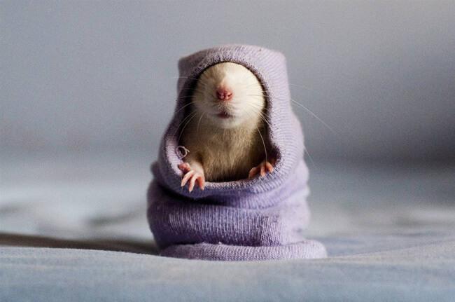 mascotas ratas 8