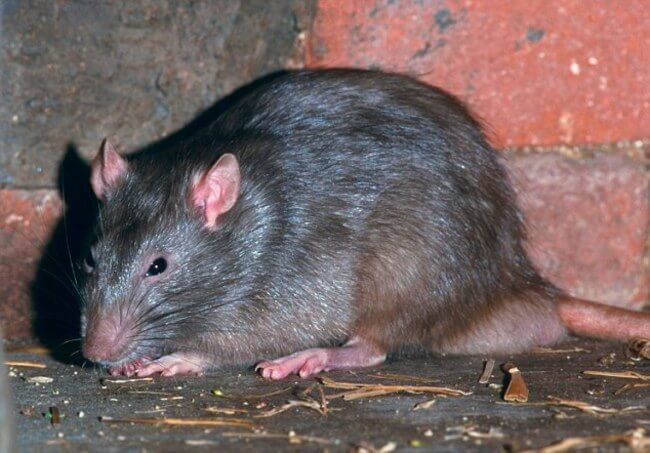 mascotas ratas 9